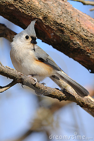 Tufted Titmouse bird on branch