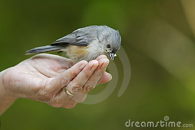 Tufted Titmouse feeding