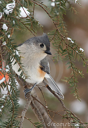 Free Tufted Titmouse In Winter Snow Stock Photos - 14414403