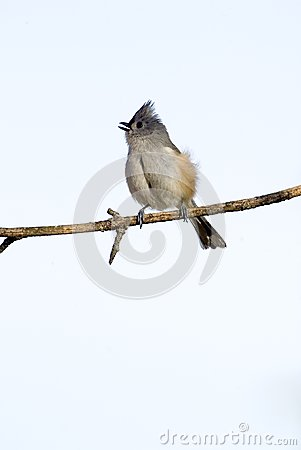 Tufted Titmouse (Parus bicolor)