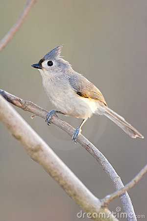Tufted Titmouse Perched On Branch