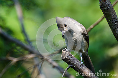 Tufted Titmouse Perched in a Tree