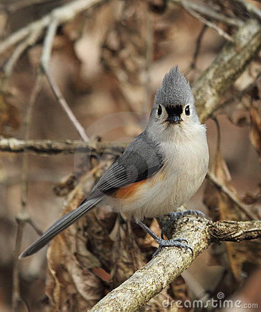 Tufted Titmouse Portrait Stock Photo