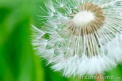 Tufts dandelion