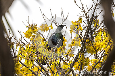 Tui Perched