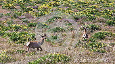 Tule Elk in California