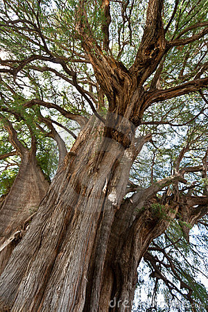 Tule tree in Mexico