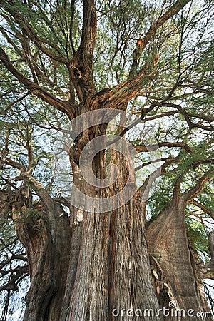 Tule tree in Mexico