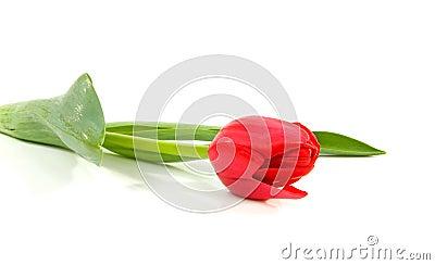 Tulipán holandés rojo