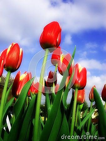 Tulip 15