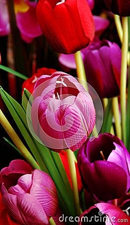 Free Tulip Stock Photo - 1938550