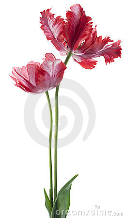 Free Tulip Stock Images - 22888024