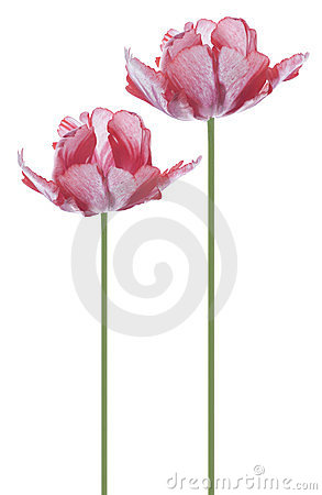 Free Tulip Royalty Free Stock Image - 23566286