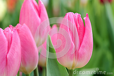 Tulip Stock Photography - Image: 29297712
