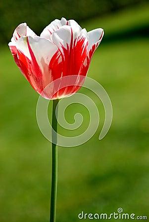 Free Tulip Stock Images - 3376934