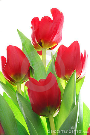Free Tulip Royalty Free Stock Photography - 3858987
