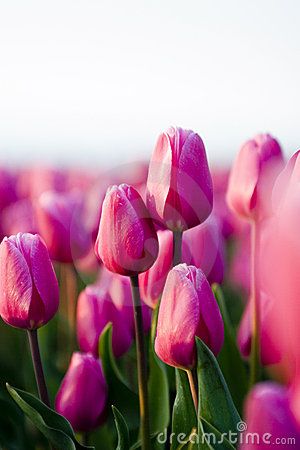 Free Tulip Royalty Free Stock Images - 417109