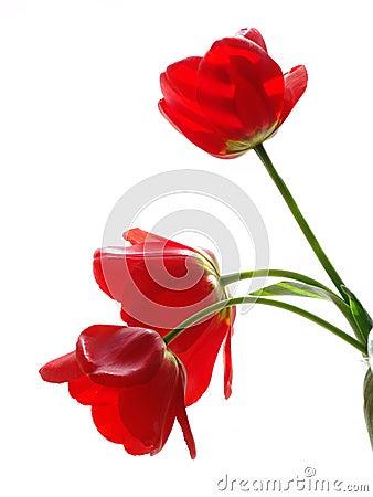 Free Tulip Stock Photography - 5380672