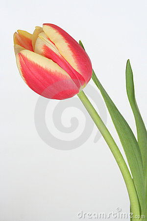 Free Tulip Stock Photos - 676523