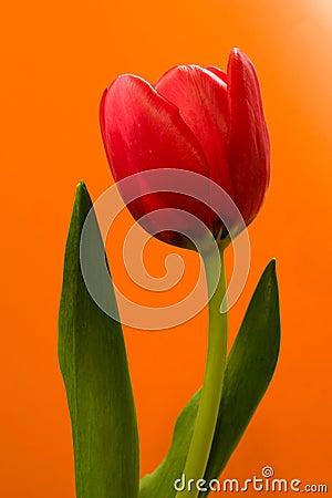 Free Tulip Against Orange Background Stock Photography - 15995372