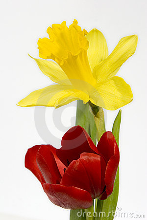 Free Tulip And Daffodil Stock Photo - 493520