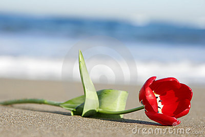 Tulip on Beach
