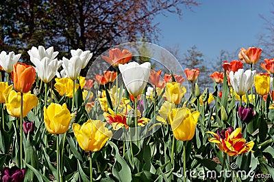 Tulip Bed