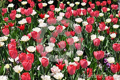 Tulip blowing