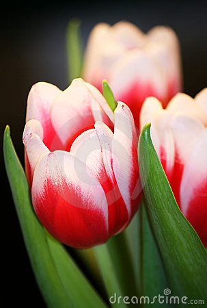 Free Tulip Bouquet Royalty Free Stock Photography - 7927257