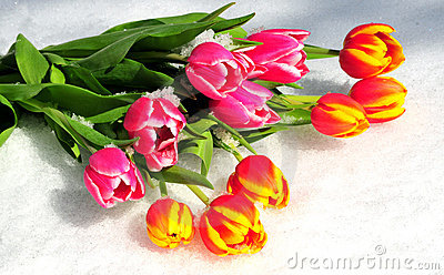 Tulip bouquet spring Easter snow