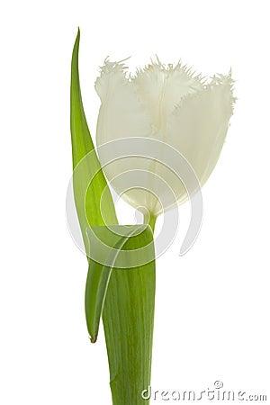 Tulipa branca.