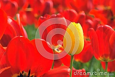 Tulip bud