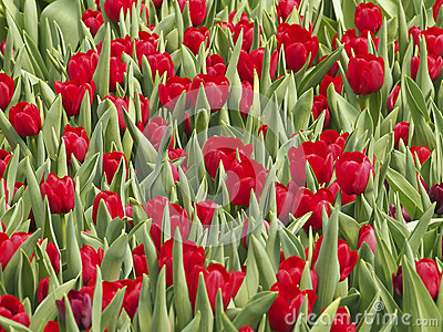 Tulip clump