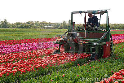 Tulip cultivation Editorial Stock Image