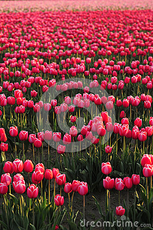 Tulip farm background