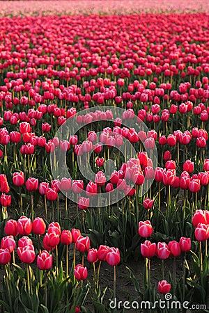 Tulip farm background