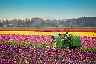 Tulip Farm Tractor Editorial Image