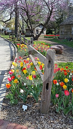 Free Tulip Fence Royalty Free Stock Photography - 54819047