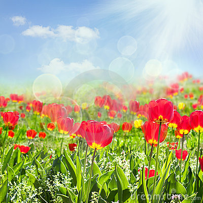 Free Tulip Field Stock Photography - 19223342