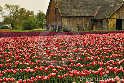 Tulip field with dilapidated old barn