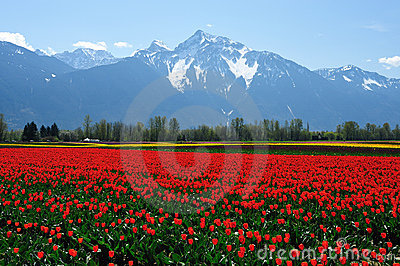 Tulip field in sea bird island