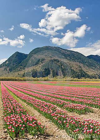 Tulip field and sunny skies