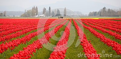 Tulip field in Washington state