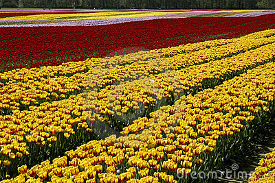 Tulip Fields Rows