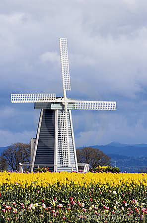Tulip Fields and a Windmill