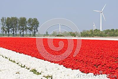 Tulip fields with windturbines