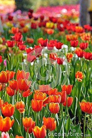 Tulip on filed