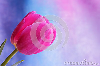 Tulip flower : Mothers Day Valentines Stock Photos