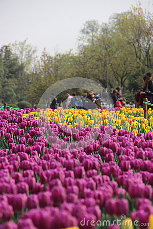 Free Tulip Flower Show Royalty Free Stock Images - 30272469