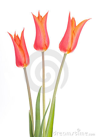 Free Tulip Flower Tulips Bulbs Flowers Royalty Free Stock Photo - 19387705